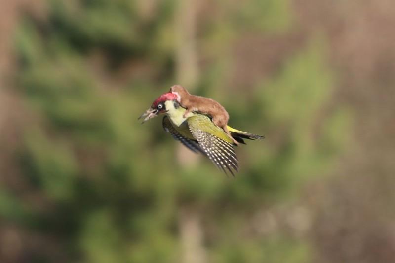 Ласка летит верхом на дятле