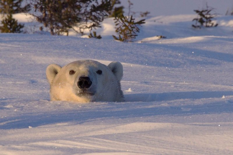 Белая медведица выглядывает из своей берлоги в национальном парке Вапуск в провинции Манитоба, Канада