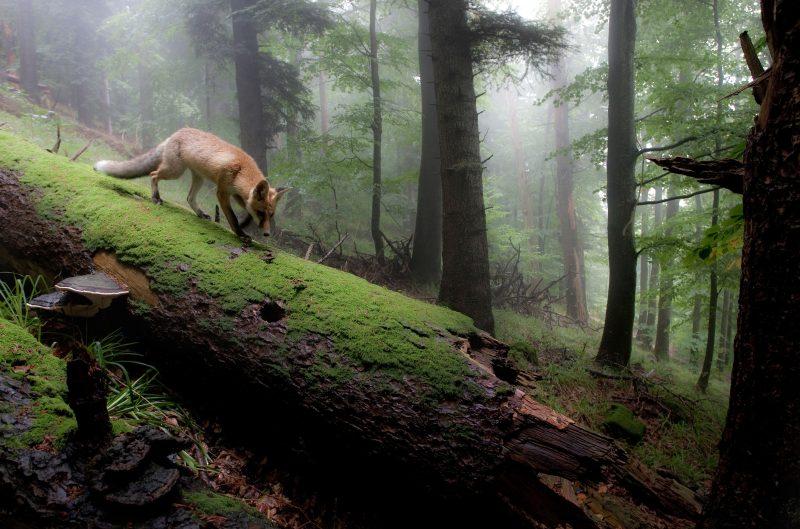 Лиса в туманном лесу / Лучшие фотографии в мире