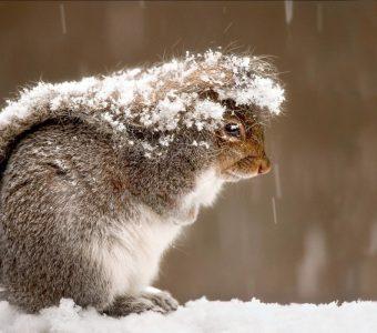 Белка накрылась хвостом от снега