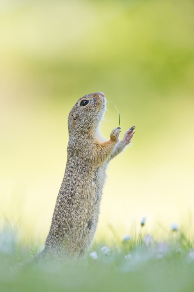 Unusual Comedy contest Wildlife Photography Awards 2016 19 - Лучшие фото мира. Сборник лучших фото - Дирижёр