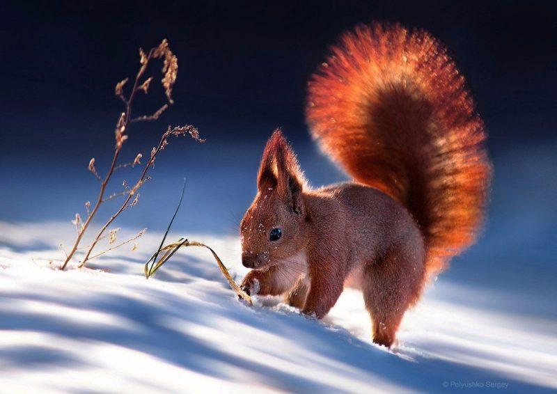 aGk8e1zjozk - Лучшие фотографии в мире - Белка на снегу