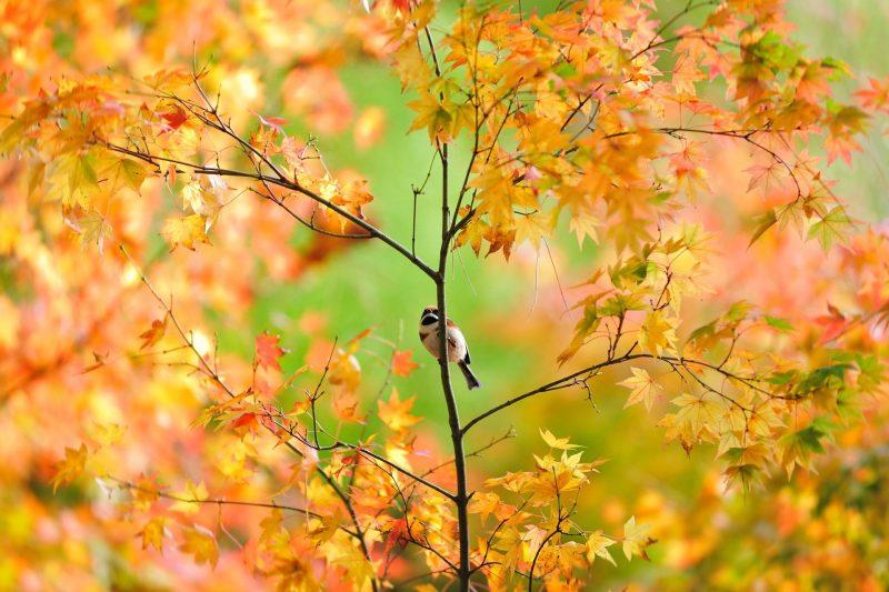 bird sparrow tree japanese autumn foliage - Лучшие фотографии в мире - Воробей, 1920*1080