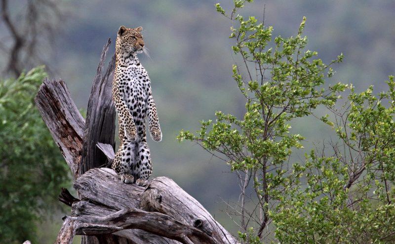 2835 - Лучшие фото мира. Сборник лучших фото - Леопард наблюдает за окрестностями в национальном парке Крюгер (ЮАР)