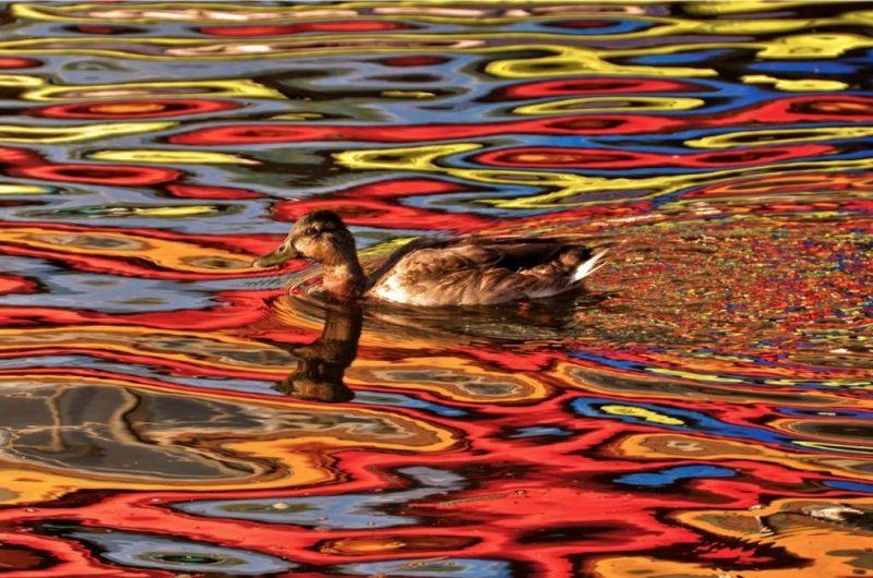 Все краски осени. Утка в воде