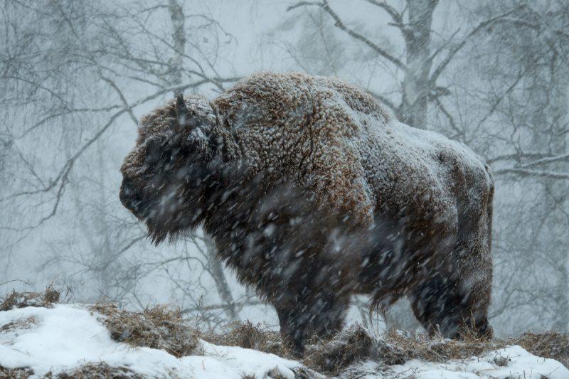 4 - Лучшие фото мира. Сборник лучших фото - Бизон в снегу