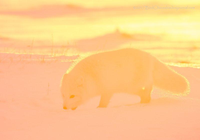 0 b43ec fb49506e orig - Лучшие фотографии в мире - Розовый песец (8 фото)