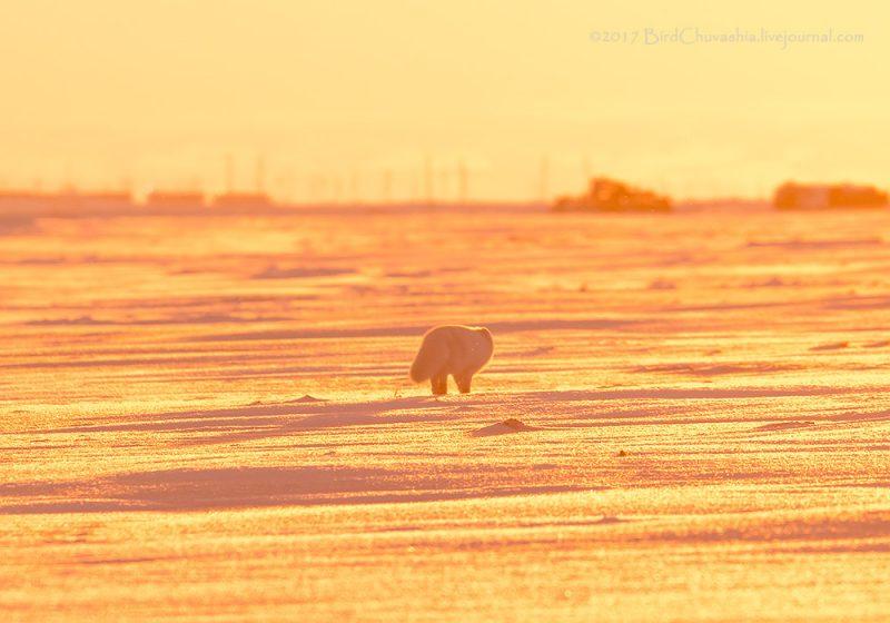 0 b43ef 48db0b78 orig - Лучшие фото мира. Сборник лучших фото - Розовый песец (8 фото)