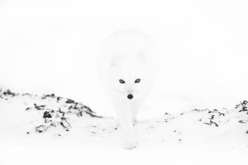 Arctic Fox 1 - Лучшие фото мира. Сборник лучших фото - Песец подкрался незаметно