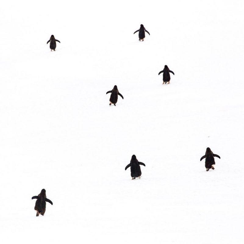 151637539711861236 - Лучшие фото мира. Сборник лучших фото - Антарктический минимализм. Пингвины идут к воде