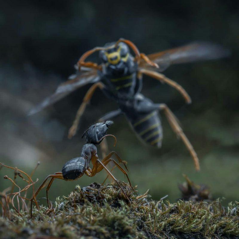 152826785315465989 - Лучшие фото мира. Сборник лучших фото - Муравей против осы