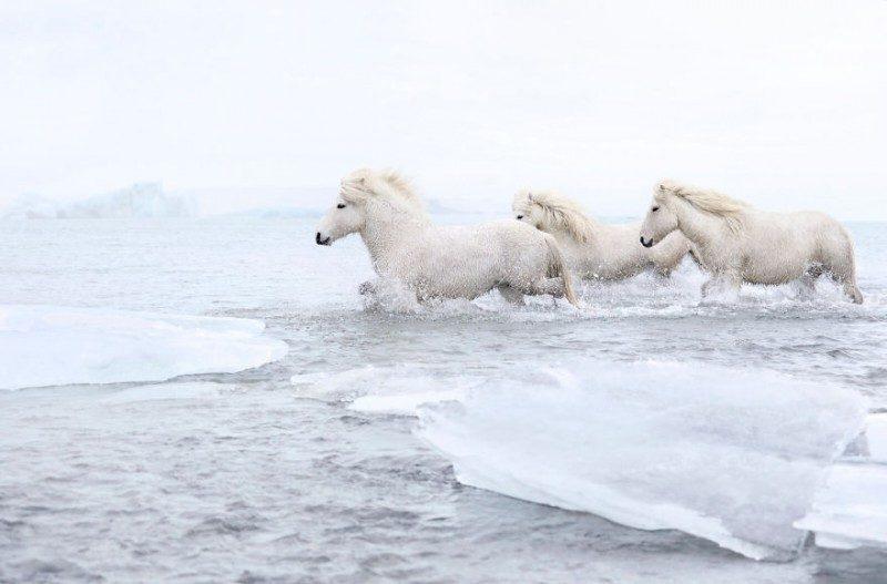 1532944468176577476 - Лучшие фотографии в мире - Фотограф сделал очень красивые снимки лошадей Исландии (8 снимков)