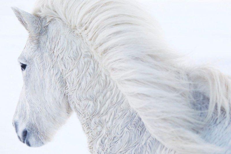 15329444751899420 - Лучшие фотографии в мире - Фотограф сделал очень красивые снимки лошадей Исландии (8 снимков)
