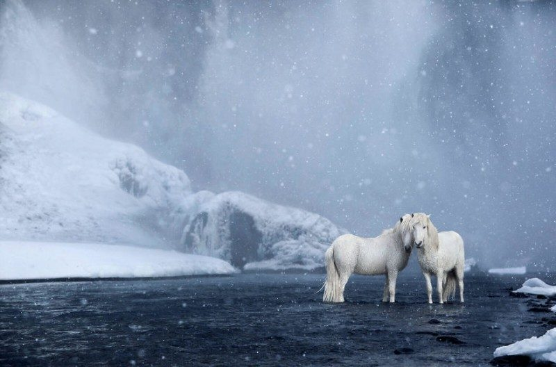 1532944574139493636 - Лучшие фотографии в мире - Фотограф сделал очень красивые снимки лошадей Исландии (8 снимков)