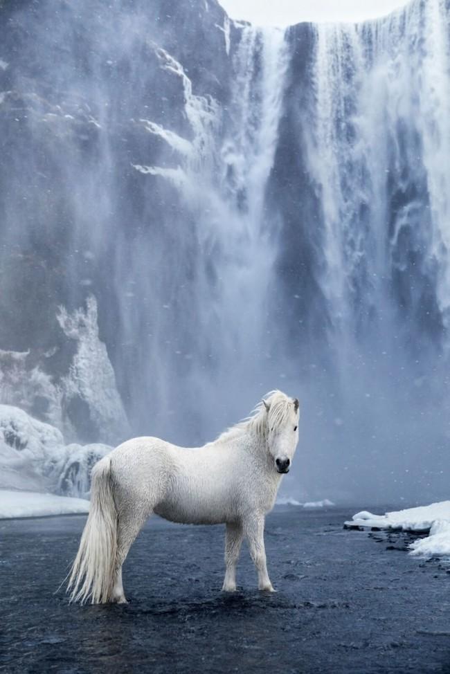 1532944621184173789 - Лучшие фотографии в мире - Фотограф сделал очень красивые снимки лошадей Исландии (8 снимков)